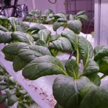 Komatsuna Spinach (300g)