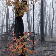 Gabrielle Mordy. Morton National Park Regrowth, 2020
