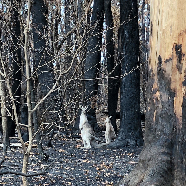 Gabrielle Mordy. Morton National Park post fire with kangaroos. 2020.