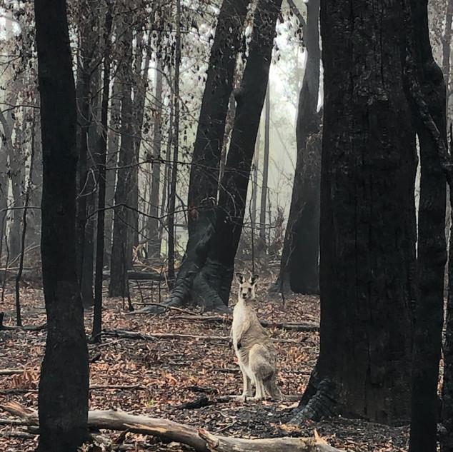 Gabrielle Mordy. Morton National Park with kangaroos, Bundanoon. 2020