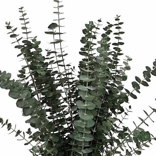 Baby Eucalyptus