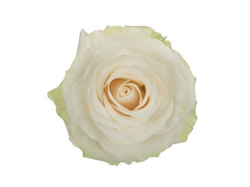 Mondail Rose