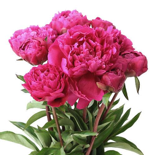 Dark Pink Peony (10 Stems)