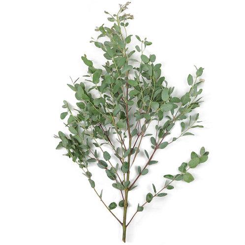 Gunnii Eucalyptus