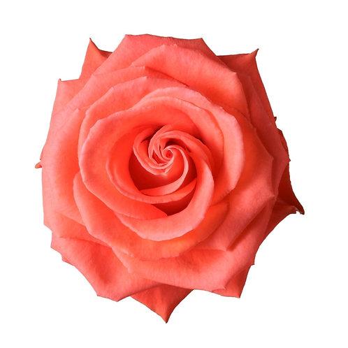 Cartagena Rose