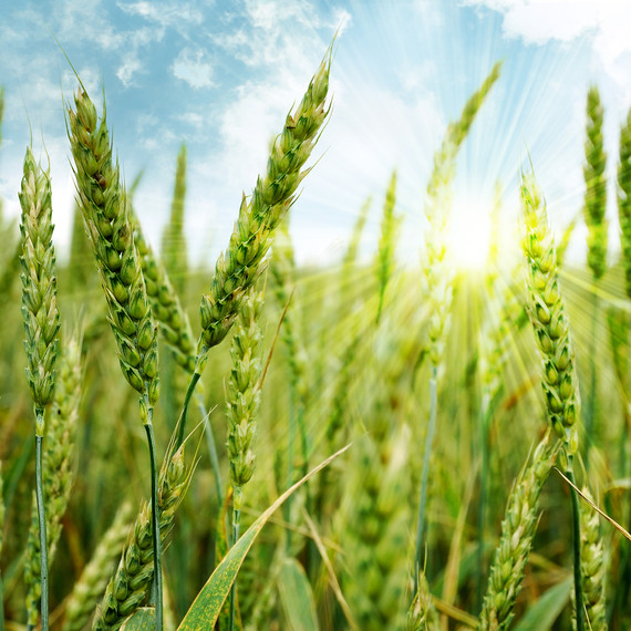 bigstock-Green-wheat-field-and-sun-25568