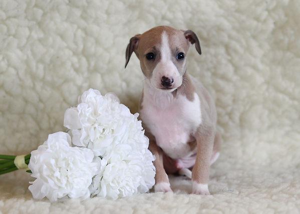 fawn dog.jpg