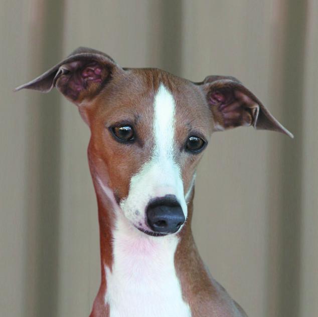 Nova Head Shot for Canine Journal.jpg