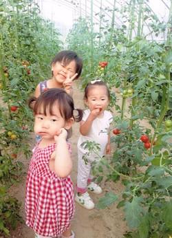 孫と一緒にミニトマトの収穫