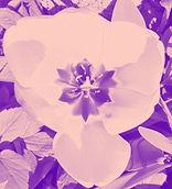tulpe_edited.jpg