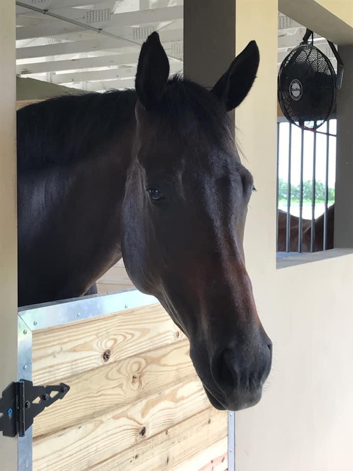 5 year old filly, horse shopping, horse search, horse trainer, horses for clients, horse showing