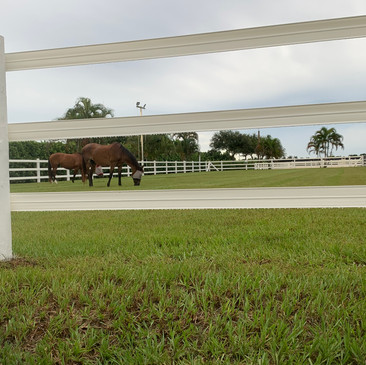 Dixie and Cookie enjoying one of our large turnout fields.