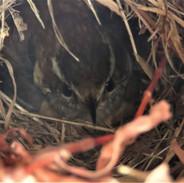 Carolina Wren nest MV 2021-04-16.jpg
