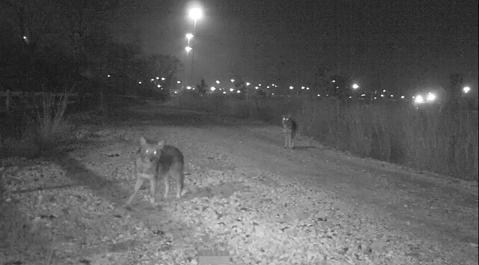 Coyote pair screenshot.jpg