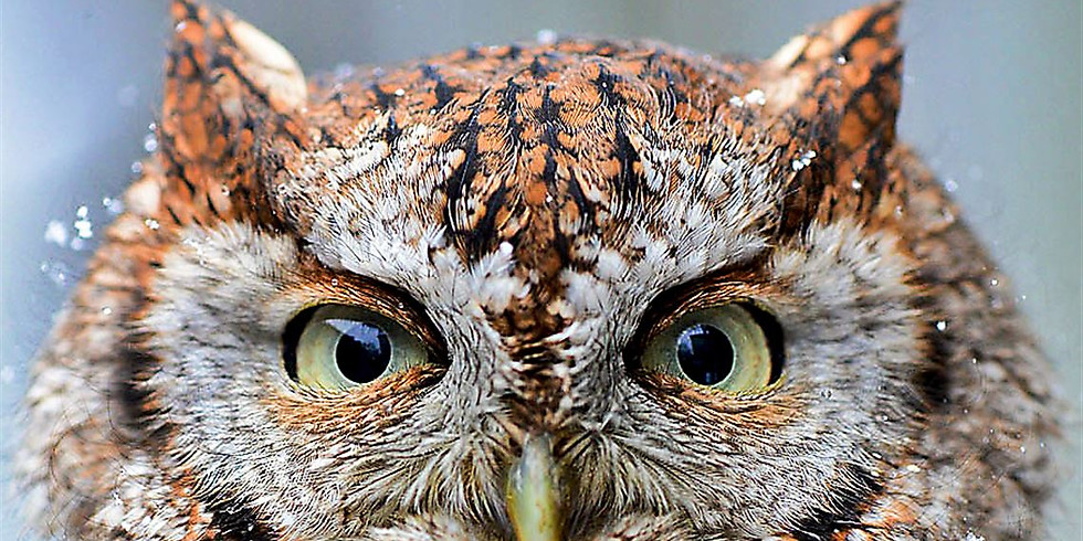 First Thursday - Owl Prowl