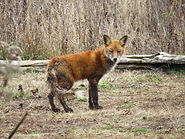 December Mammal Flyer Red Fox.jpg