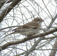 Vesper Sparrow MV DMCF 2021-03-25.jpg