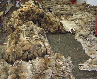zander fur coyote