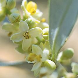 olive massaggio.jpg