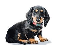 dauchshund cleaned.jpg