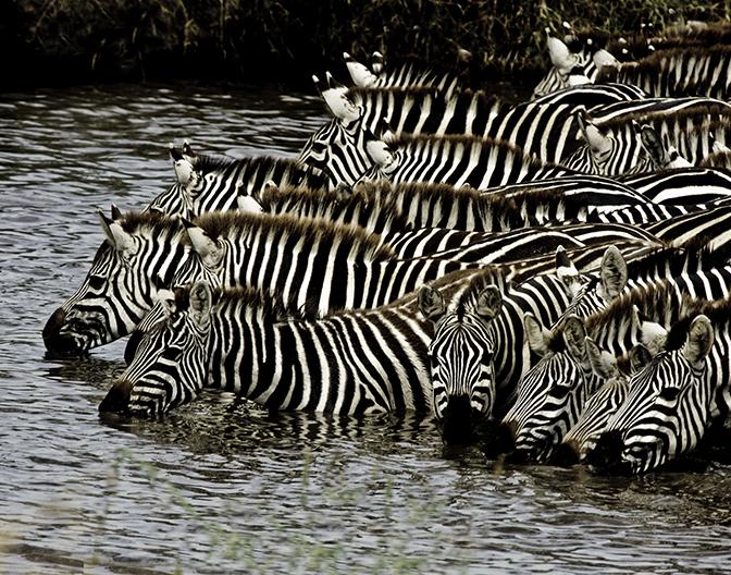 ZEBRAS WATERING IN THE SERINGETI.jpg