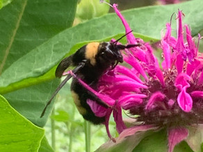The Black and Gold Bumble Bee Rediscovered in Connecticut!
