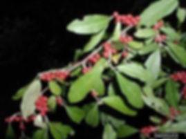 Autumn Olive Leaf.jpg