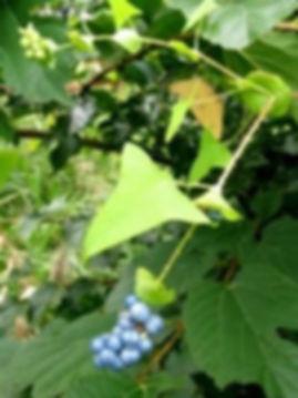 Mile-a-minute leaf.jpg