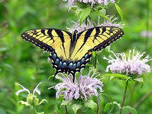 Swallowtail on Bergamot 6.jpg