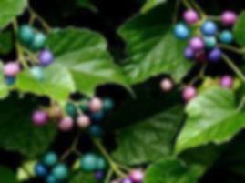 Porcelainberry Berries.jpg