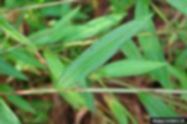 Japanese Stiltgrass Leaf.jpg