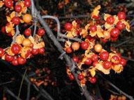 Oriental Bittersweet Berries.jpg