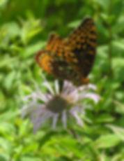 Butterfly on  Bergamot.jpg