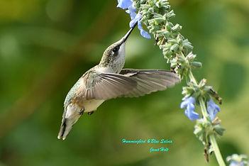 Hummingbird & Blue Salvia_JanetHolt.jpg
