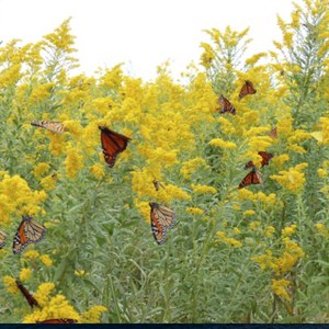Fields of Gold Plant Goldenrod for Specialist Bees and Migrating Monarchs