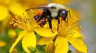 bumble bee pollinator.jpg