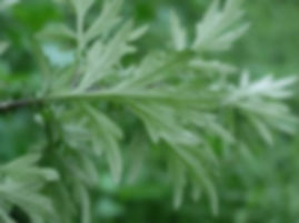 Mugwort Leaf.jpg