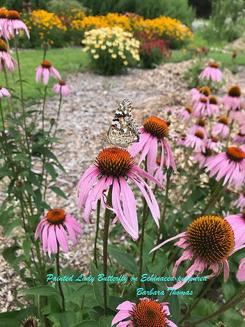 Painted Lady Butterfly_Echinacea.jpg