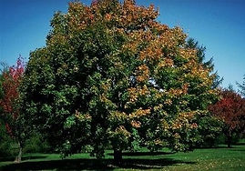 Norway Maple.jpg