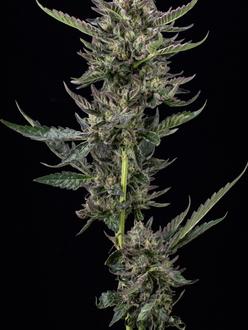 NOTORIOUS THC