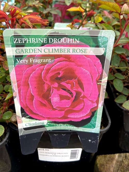 Rose Climber Zephrine Drouhin