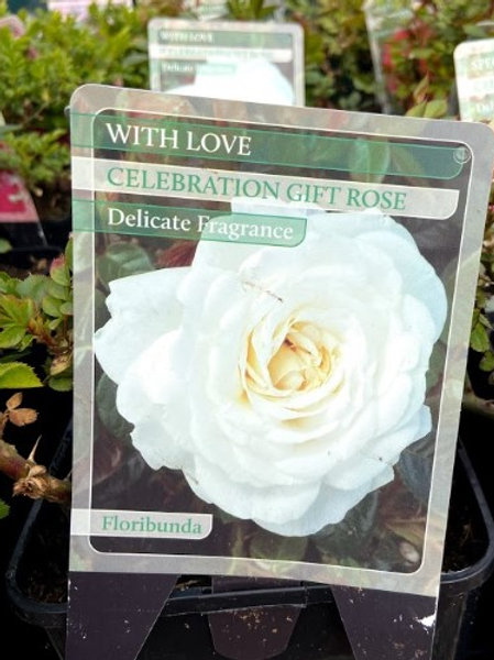 Rose Celebration 'With Love'