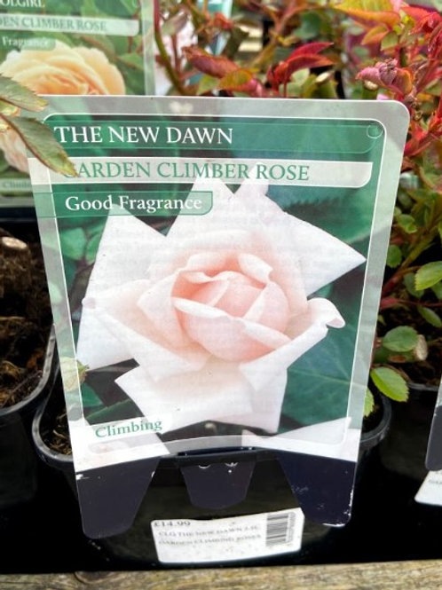 Rose Climber The New Dawn