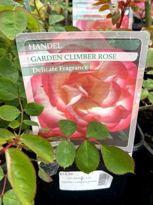 Rose Climber Handel