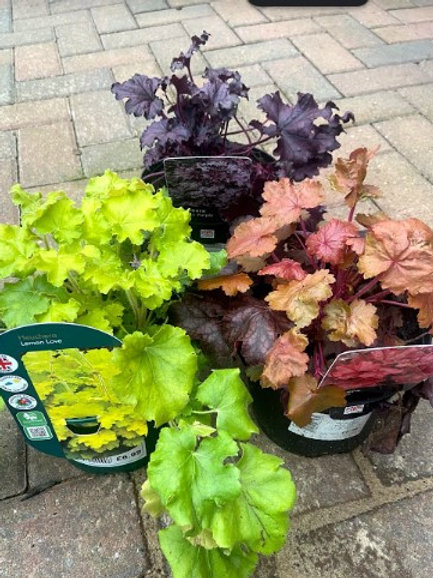 Heuchera in varieties