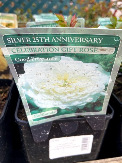 Rose Celebration 'Silver Anniversary'
