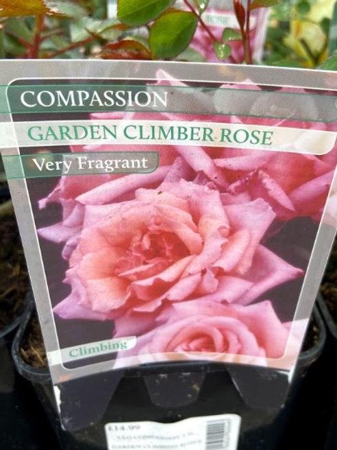 Rose Climber Compassion