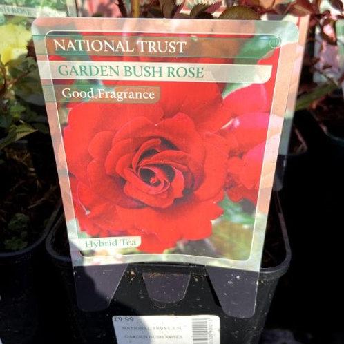 Rose Hybrid 'National Trust'