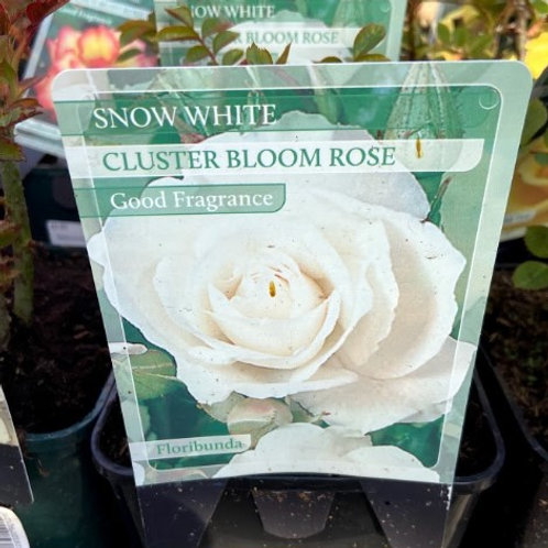 Rose Floribunda 'Snow White'