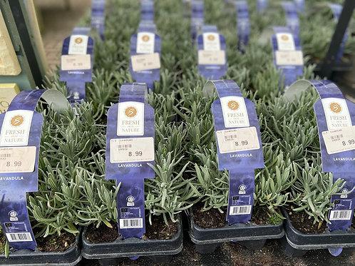 Lavender Hidcote 6 pack